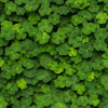 get rid of clover
